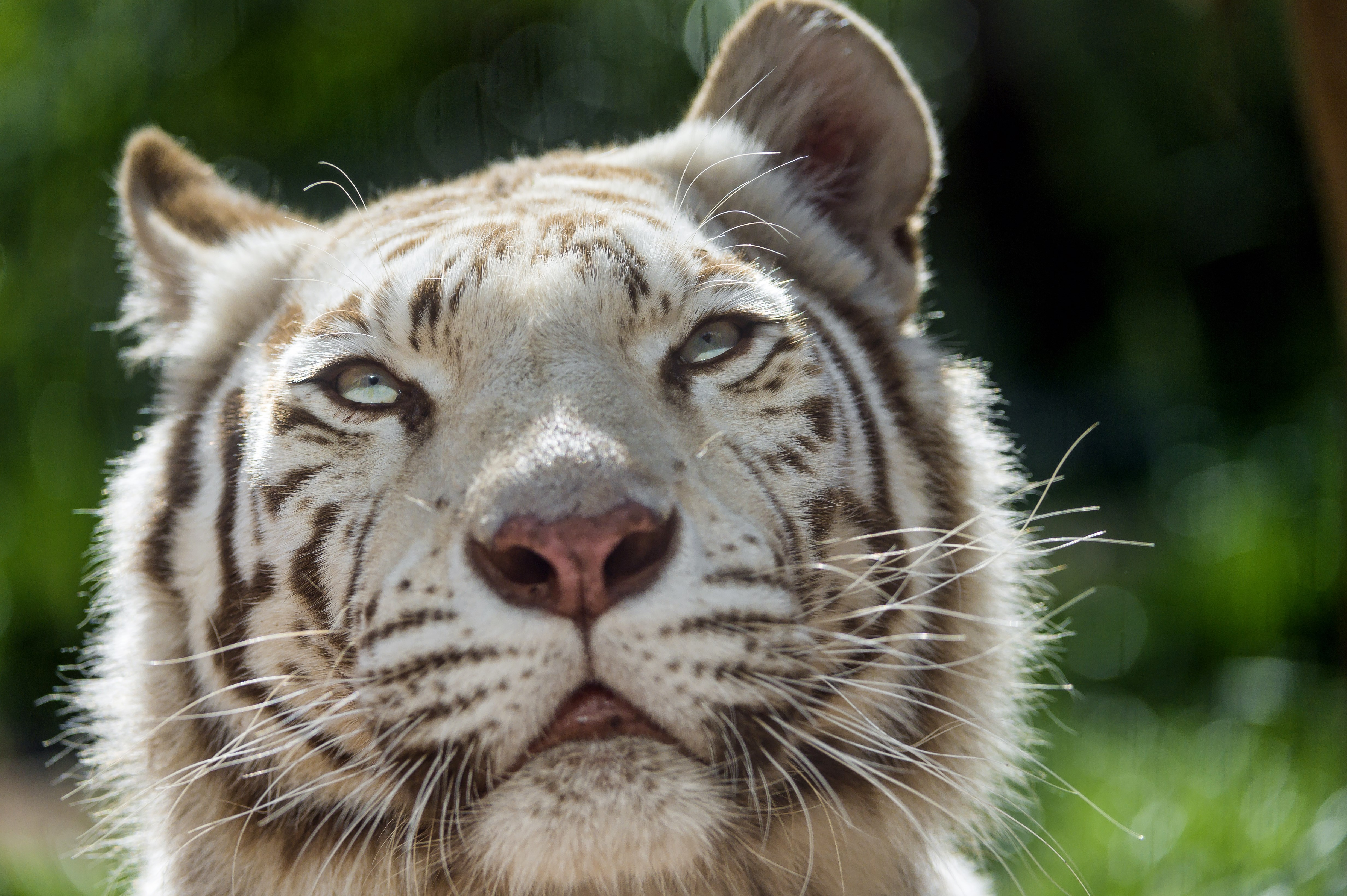 white tiger 4k ultra hd wallpaper » High quality walls