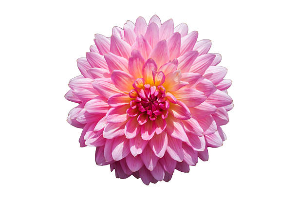 Pink chrysanthemum flower isolated on white background high pink chrysanthemum flower isolated on white background mightylinksfo