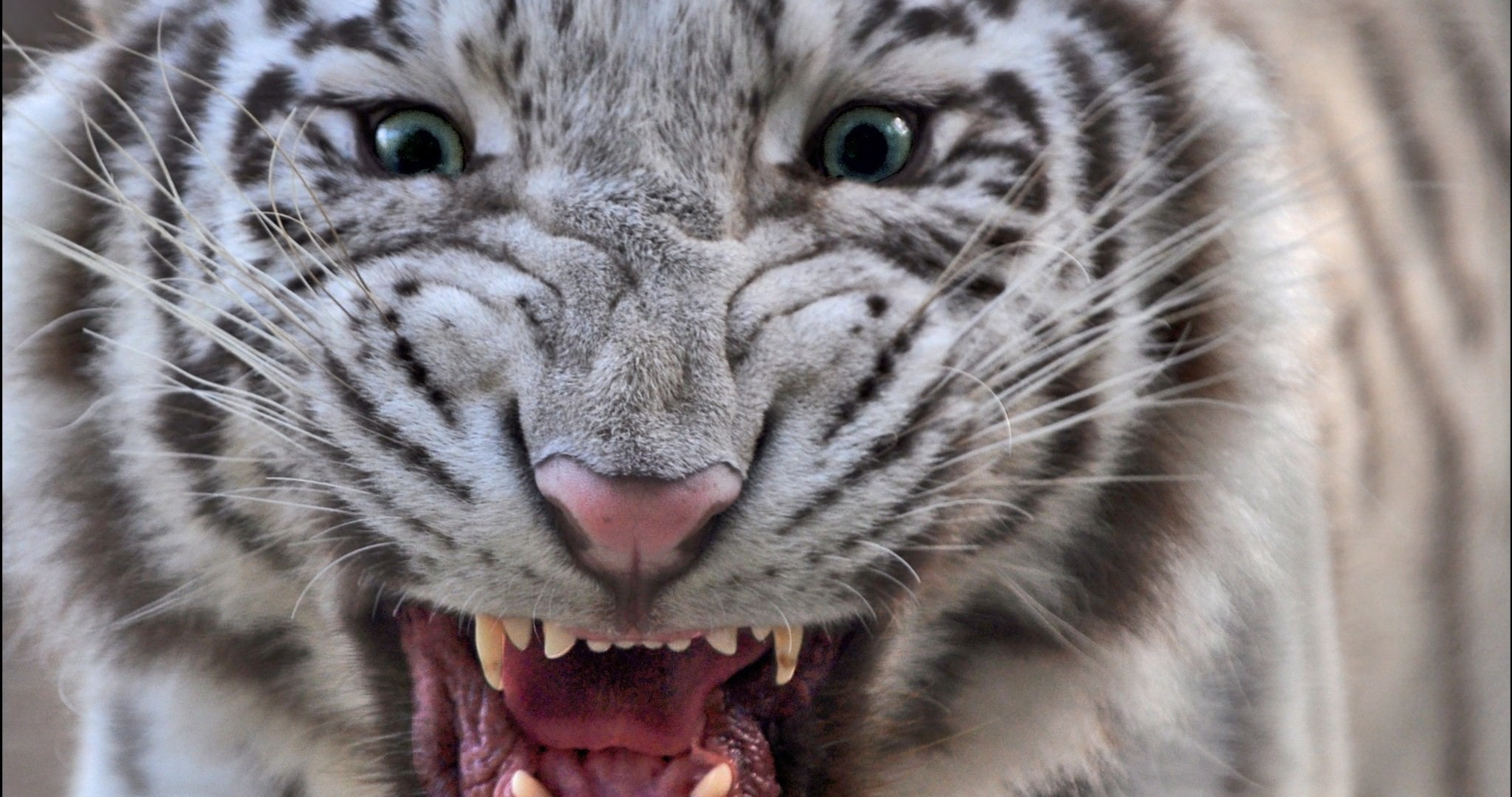 white tiger with blue eyes wallpaper 4k ultra hd wallpaper high